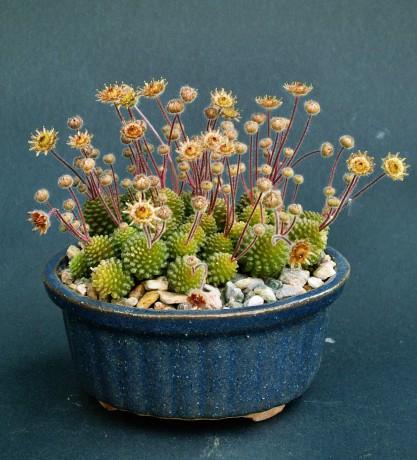 http://www.sukulenty.estranky.cz/img/mid/633/monanthes-polyphylla.jpg
